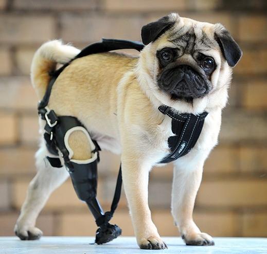 hond-met-prothese