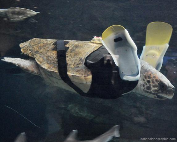 schildpad-prothese