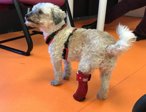Video van diverse honden met braces en prothesen